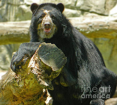 Chillin' In The Sun - Andean Bear by Emmy Marie Vickers