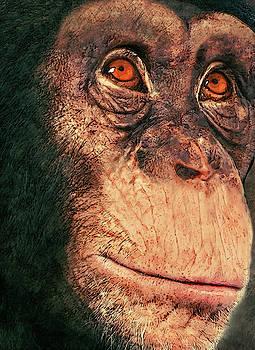 Chimp by Jack Zulli