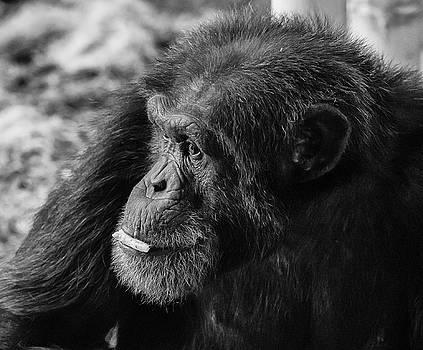 Chimpanzee  by Greg Thiemeyer