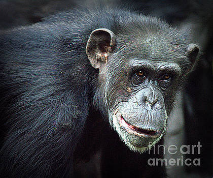 Chimpanzee by Lisa L Silva
