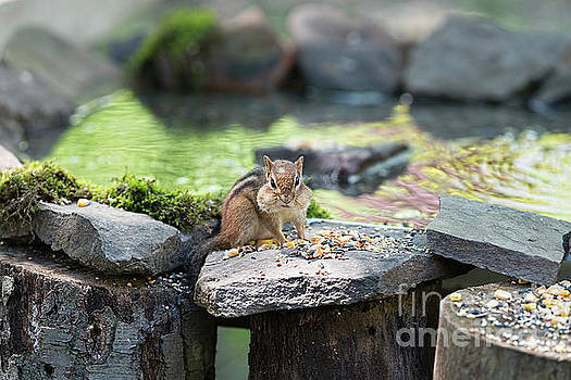 Dan Friend - Chipmonk with mouth full of food