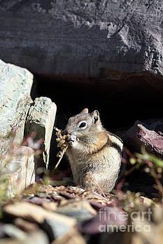 Chipmunk Closeup Eating by Brandon Alms