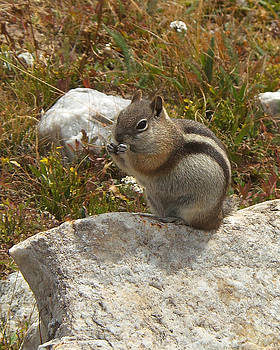 Chipmunk Lunch by D Winston