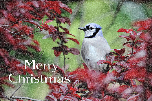 Christmas and Blue Jay by Trina Ansel