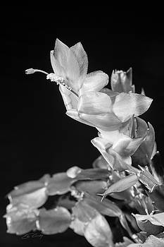 Christmas Cactus on Black by Ed Cilley