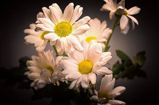 Chrysanthemum blooms by Jeremy Sage