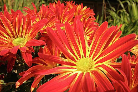 Chrysanthemums by Christine Amstutz