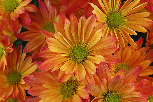 Chrysantheum Flowers by Carol Welsh