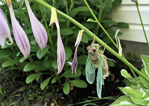 Cicada Awakening by Dan McCafferty