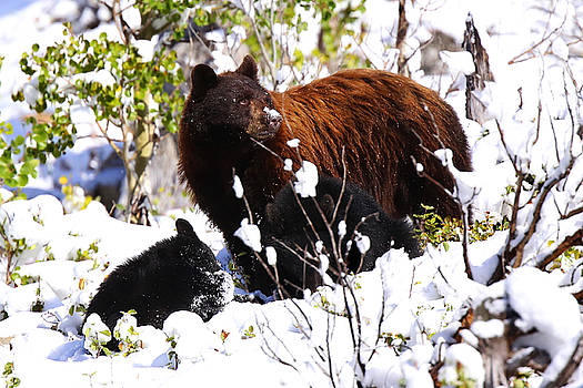 Cinnamon Black Sow and 2 Cubs by Bill Keeting