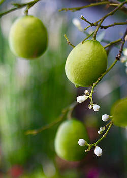 Citrons Verts by Amy G Taylor