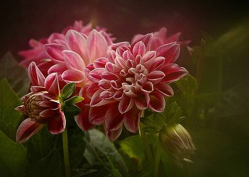 Classic Dahlia 2016 by Richard Cummings