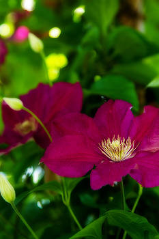 Barry Jones - Clematis - 2