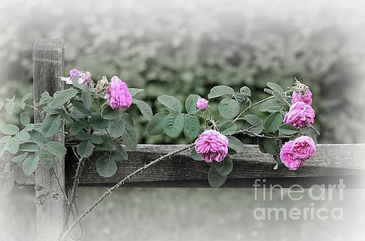 Climbing Pink Roses by Karen Adams