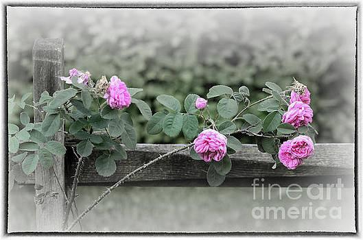 Climbing Pink Roses with Border by Karen Adams