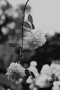 Climbing Roses by Cassandra Buckley