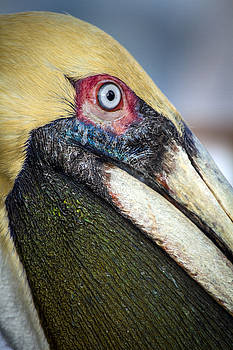 Close Up Colorful Pelican Marco Island by Toni Thomas