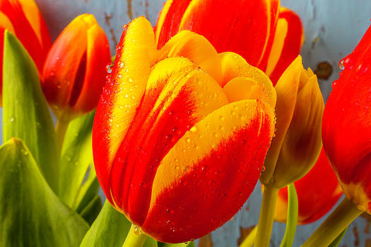 Close Up Dew Covered Tulip by Garry Gay