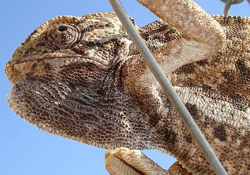 Tracey Harrington-Simpson - Close Up Of A Climbing Chameleon