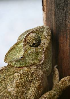 Tracey Harrington-Simpson - Close Up Of A Wild Green Chameleon
