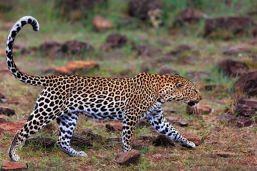 Close up of walking Leopard female Siri in Masai Mara, Kenya by Maggy Meyer