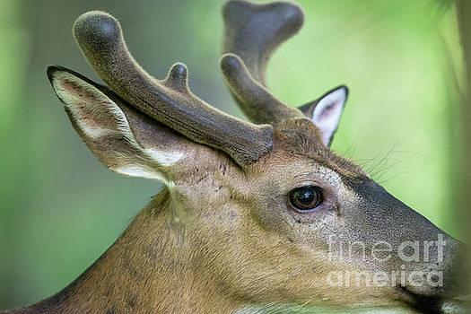 Dan Friend - Close up  of whitetail deer buck with velvet antlers