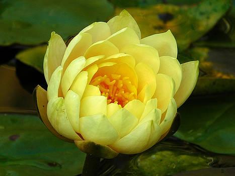 Close up Study Hardy Water Lily by Nancy Spirakus