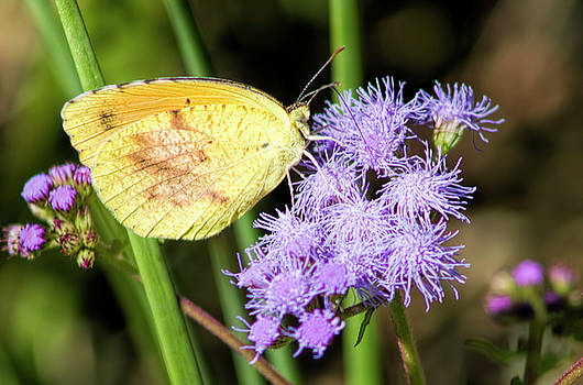Cloudless Sulfur Butterfly on Ageratum Wildflower by Kathy Clark