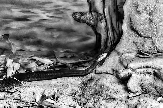 Coastal Taipan by Miroslava Jurcik