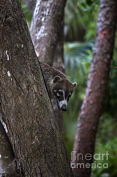 Coatimundi up in the Trees by Brandon Alms