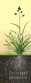 Cocksfoot or Orchard Grass Dactylis glomerata - Root System - Da by Urft Valley Art
