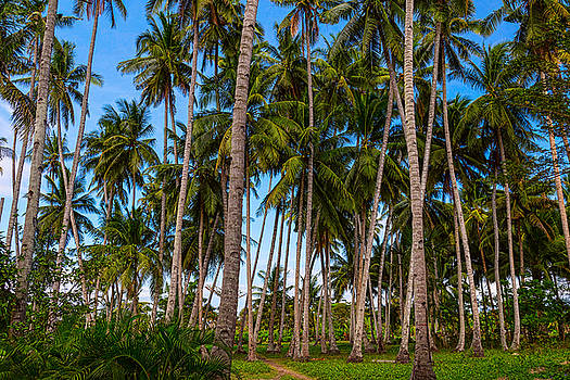 Coconut Jungle Paradise by James BO Insogna