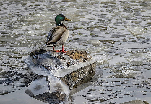 Cold Duck by Ray Congrove