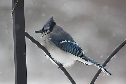 Cold Jay by Diane Merkle