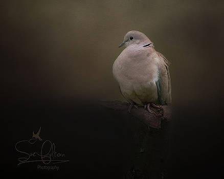 Collared Dove  by Sue Fulton