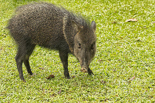 Patricia Hofmeester - Collared Peccary