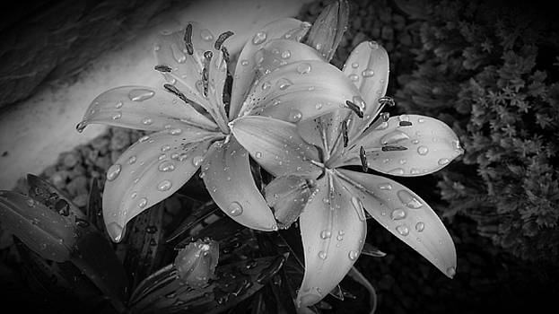 Holly B Lilies  by Brad Walters