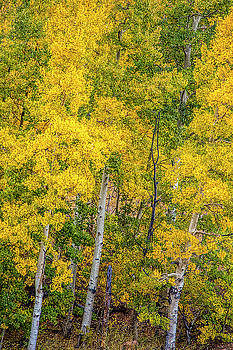 Colorado Aspens by Andrew Soundarajan