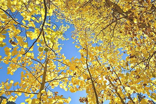 Colorado Fall Aspen Trees  by Amy McDaniel