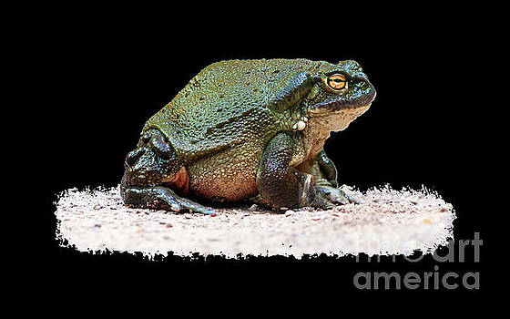 Colorado River Toad - Incilius alvarius by Carsten Reisinger