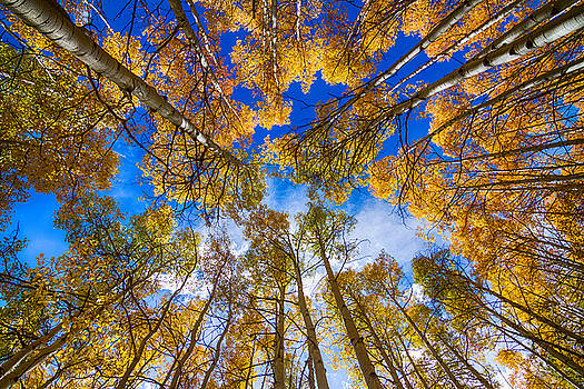James BO  Insogna - Colorful Aspen Forest Canopy
