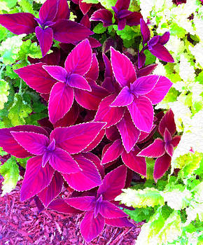 Colorful Coleus  by Bruce Nutting