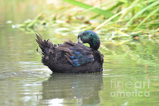 Colorful Duck by Laurianna Taylor