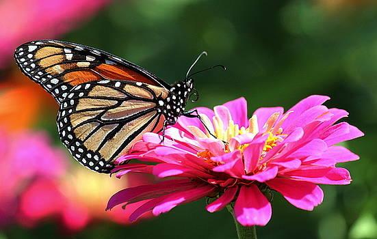 Rosanne Jordan - Colorful Monarch