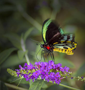 Colorful Northern Butterfly by Penny Lisowski