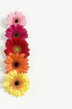 Colorful Row of Gerbera Daisies by Di Kerpan