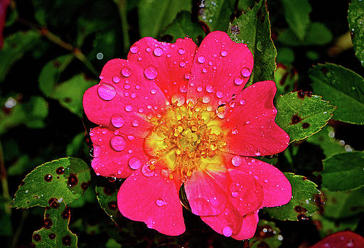 Colors Of Nature - Pink Drift Rose by George Bostian