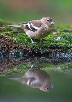 Common Chaffinch Near The Water by Sergey Ryzhkov