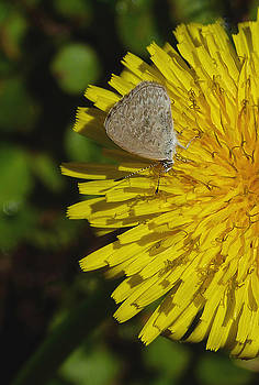 Common Grass Blue Butterfly by Margaret Saheed