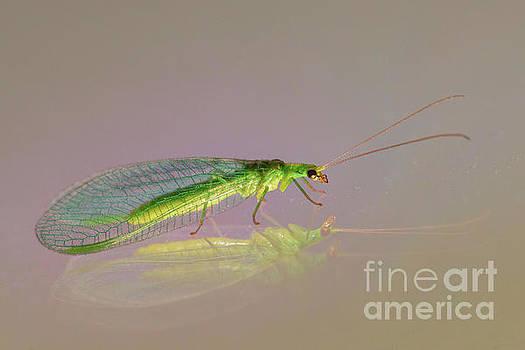 Common Green Lacewing - Chrysoperla carnea by Jivko Nakev
